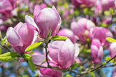 Pink Magnolia Flowers — Stock Photo