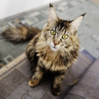 Maine Coon cat, 12 months old — Stock Photo #26116163