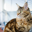 Maine Coon cat, 12 months old — Stock Photo #26116171