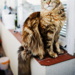 Maine Coon cat, 12 months old — Stock Photo #26116177