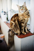 Maine Coon cat, 12 months old — Stock Photo