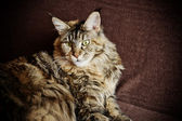 Portrait of a Maine Coon cat — Stock Photo