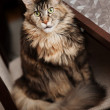 Stock Photo: Portrait of Maine Coon cat
