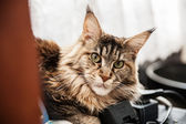 Maine Coon Cat rast — Stock Photo