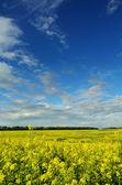 Mustard field under beautiful sky — Stock Photo
