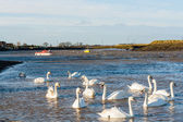 Twelve swans at Hullbridge — Stock Photo