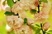 Flowering bush of wild roses — Stock Photo