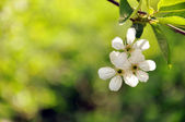Cherry blossoms on a branch — Stock Photo