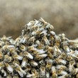 Stock Photo: Bees on hive