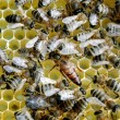 Bees on honey cells with the queen bee in the middle — Fotografia Stock  #33129369