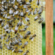 Bees on honey cells with the queen bee in the middle — Stock Photo