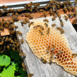 Stock Photo: Honeycomb with bees