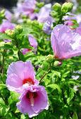 Cespuglio fioritura con fiori rosa — Foto Stock