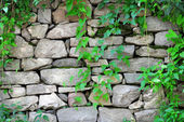 Stone wall with ivy growing on it — Stock Photo