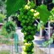 Foto Stock: Branch of green grapes