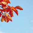 Tree branch with red foliage — Stock Photo