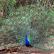 Peacock — Stock Photo #29583259