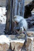 Baboon — Stok fotoğraf