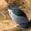 Crown Head Heron — Stock Photo