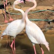 Kiss of Flamingo — Stock Photo