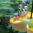 Two Tropical Butterfly — Stock Photo