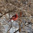 Stock Photo: Red Cardinal Bird