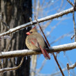 Stock Photo: Cardinal Bird