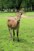 Nilgai — Photo