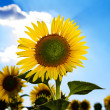 Sunflowers — Stock Photo #29659093