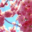Japanese cherry tree at sun — Stock Photo