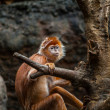 Royalty-Free Stock Photo: Orange monkey
