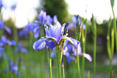 Iris  - flowery meadow — 图库照片