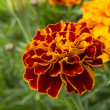 The French marigold flower (Tagetes patula L.) — Stock Photo