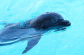 One dolphin swimming in the pool. — Stock Photo