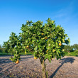 Orange Tree in Orange County, California — Foto Stock