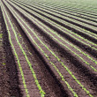 Stock Photo: Rows of crops