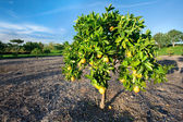 Orange tree in California — Stock Photo