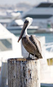 Pelican Perched on a Dock — Stock Photo