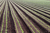 Rows of crops — Stock Photo