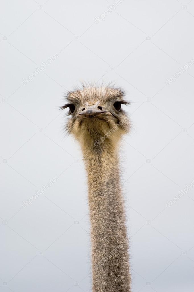 Ostrich head closeup — Stock Photo #19045465
