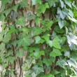 Stock Photo: Ivy on Tree