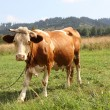 Cow on the meadow — Stock Photo #31179601