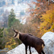 Goat in the Austrian Alps — Stock Photo