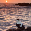 Seabird enjoying the sunrise — Stock Photo