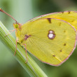 Clouded Yellow (Colias crocea) — Stock Photo
