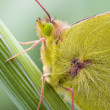 Clouded Yellow (Colias crocea) - Stock Photo