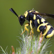 Parasitic chalcid wasp - Stock Photo