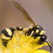 Eumenes pomiformis Wasp - Stock Photo