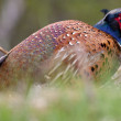 Pheasant male bird in a dunes landscape — Stock Photo