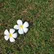 White plumeria on grassy field — Stock Photo